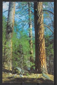 Ponderosa Pine, unused