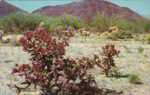 Cactus Red Staghorn Cholla On The Desert 19060