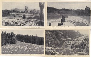 A Sheep Droving Grazing New Zealand 4x Real Photo Scene Old Postcard s