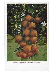 Oranges and Orange Blossoms 1905 California E P Charlton Card San Francisco