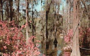 near Charleston, SC, Cypress Gardens, Chrome Vintage Postcard g9018