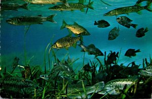 Florida Silver Springs Underwater Scene