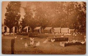 Petaluma California~Bianchi Poultry Co~Chickens~Birds Coop Houses~1908 Sepia