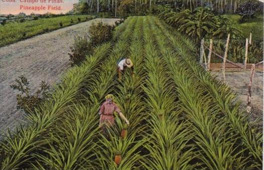 Cuba Typical Pineapple Field