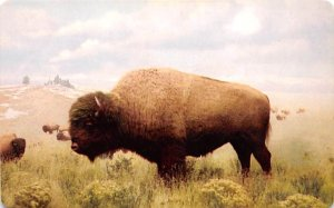 Buffalo Post Card American Bison Denver Museum Natural History, CO USA Unused