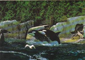 Killer Whale Habitat Max Bell Marine Mammal Centre Vancouver Aquarium British...