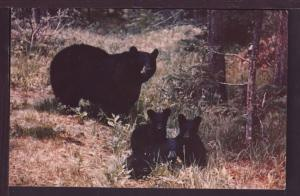 Black Bear and Cubs Post Card 3702