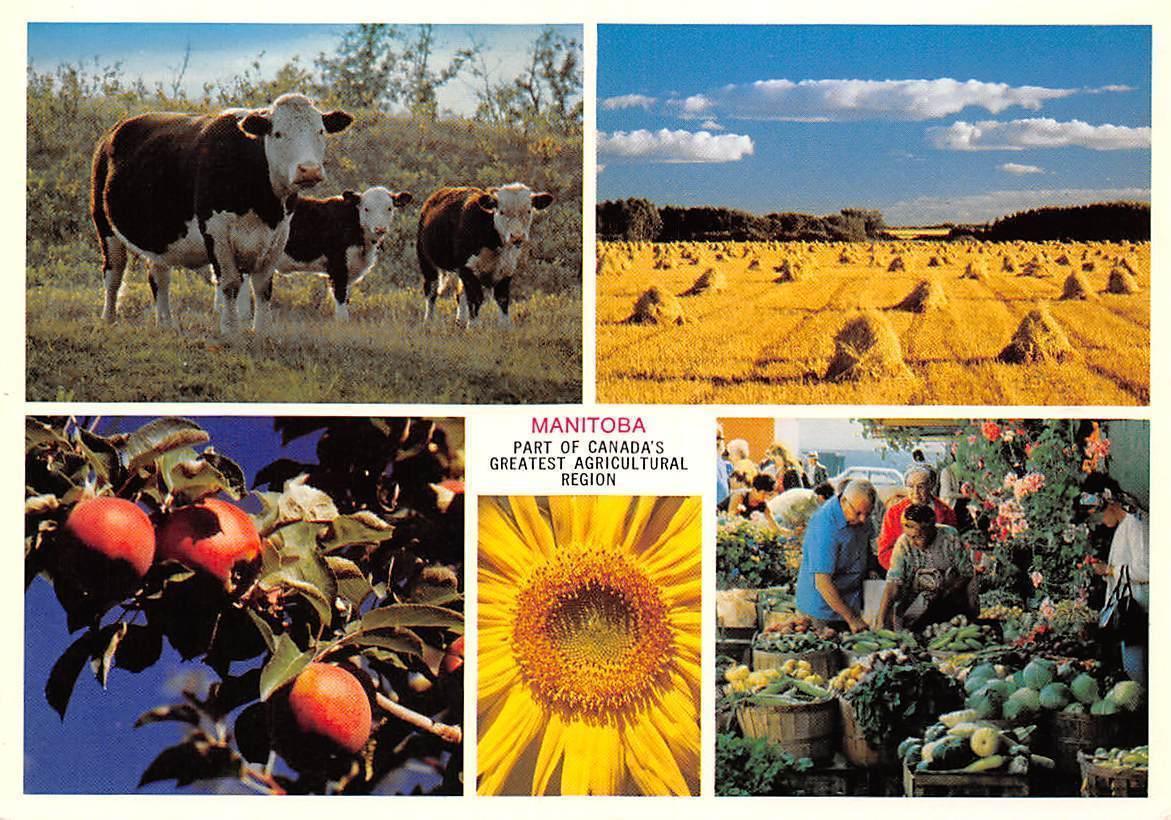 Carte Canada Region.Canada Manitoba Part Of Canada S Greatest Agricultural Region Cows