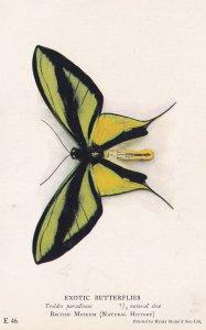 Paradise Birdwing Troides Paradiseus New Guinea Butterfly Butterflies Postcard