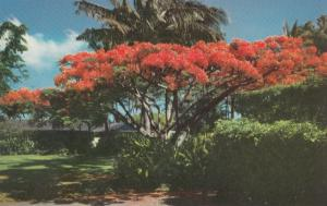 HAWAII, 1940-60s; The Flame Tree, blossoms of the Royal Poinciana