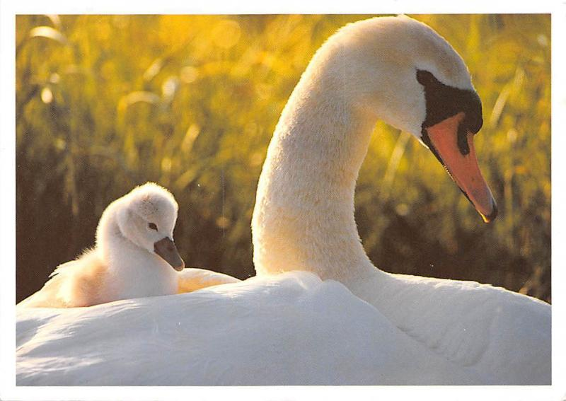 Beautiful picturesque Swans birds, Foto: Fred Hazelhoff / Natura