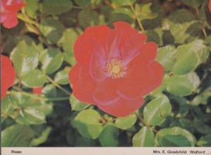 Rose Roses at Widford Essex Womens Institute Flowers Postcard