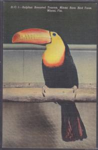 MIAMI - BEAUTIFUL SULPHUR BREASTED TOUCAN  in KENDALL at MIAMI RARE BIRD FARM