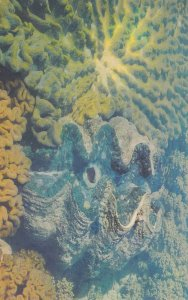 NORTH QUEENSLAND, Australia, PU-1967; Giant Clam Shell, Great Barrier Reef
