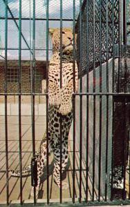 Indian Leopard , Zoo , Calgary , Alberta , Canada , 50-60s