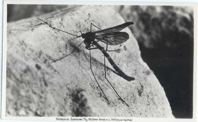 RP Bolitophita Luminosa Fly, Waitomo Caves New Zealand 7032