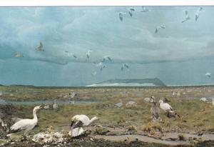 Snow Geese , Eskimo Pt , N.W.T. , Canada , 40-60s