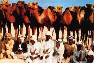 Dubai UAE Middle East Beduins in Front of Camels Postcard