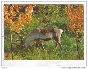 Norway, 50-60s, Reinsdyr, A Reindeer