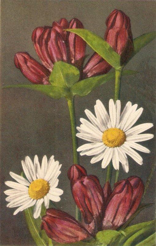 Flowers. Purple Gentian and Daisy  Beauiful Swiss postcard 1950s