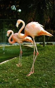 Birds Flamingo At Parrot Jungle Miami Florida Curteich