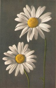 Flowers. Marguerita. Daisy Beauiful Swiss postcard 1950s