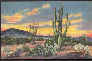 New Mexico Sunset on the Desert showing Variety of Cactus - pm1951 - LINEN