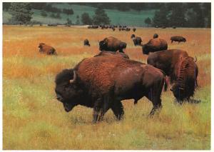 Buffalo - Mitchell, South Dakota