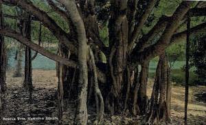 Banyan Tree Hawaiian Islands HI Unused