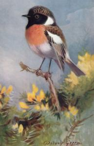 Stonechat RSPB Royal Society For The Protection Of Birds Antique Postcard