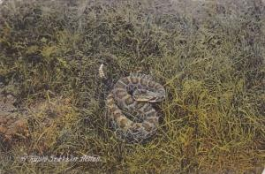 A Rattle Snake In Action 1910