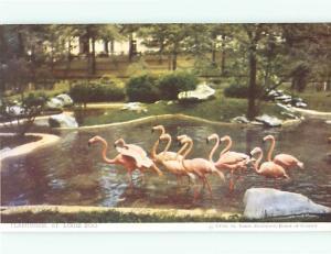 St Louis Zoological Gardens Zoo Animals 1950's Flamingos Postcard # 8453