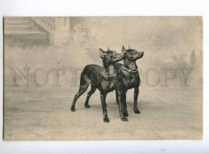 244104 Lovely DOBERMAN PINCHER Dogs Friends Vintage Postcard