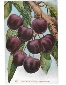 Cluster of Black Tartarian Cherries 1910 Edward Mitchell San Francisco Card