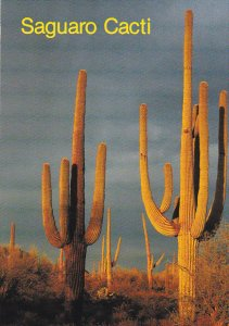 Saguaro Cactus Arizona Desert