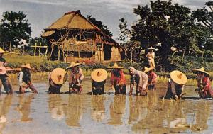 Luzon Philippines Rice Planting Luzon Rice Planting