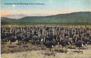 Cawston Ostrich Breeding Farm