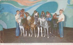 Missouri St Louis Chimpanzee Equestrians Riding Ponies St Louis Zoo 1950