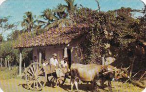 Panama The Montunos With Typical Bullock Cart