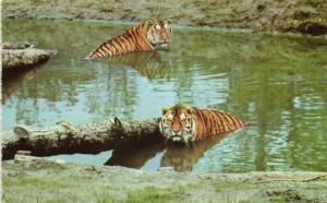 Six Flags Great Adventure Safari, Jackson, NJ, Siberian Tigers (1960s)