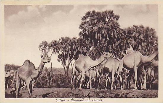 Camels, Cammelli Al Pascolo, Eritrea, Africa, 1910-1930s