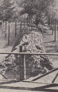 California Santa Rosa Queen Of The Forest Albertype