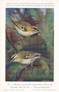 Wren Roitelet Tete De Feu Rare WW2 Bird Postcard