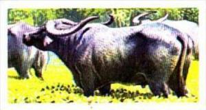 Brooke Bond Trade Card Asian Wildlife No 28 Indian Buffalo