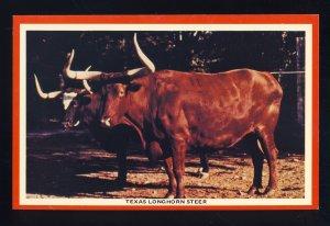 Texas/TX Postcard, Texas Longhorn Steer