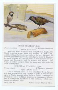 House Sparrow & European Starling painting by, National Museum of Canada, Ottawa