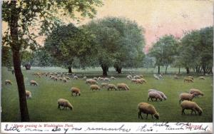 postcard IL - Sheep grazing in Washington Park, Chicago - posted 1906