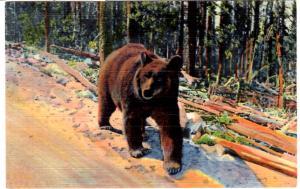 ROBBINS 1077 A Bear Hitch-Hiker, Yellowstone National Park