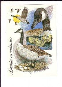 Branta Canadensis, Canada Geese, Birds, Chicks, Eggs