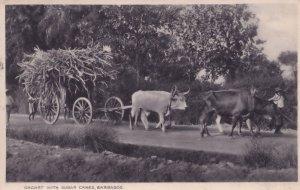 Oxcart With Sugar Canes Barbados Postcard